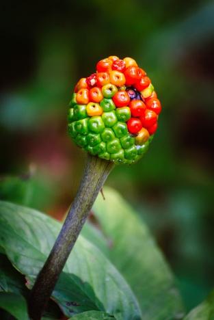 Hebi plant