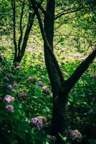 Ajisai among cherry trees